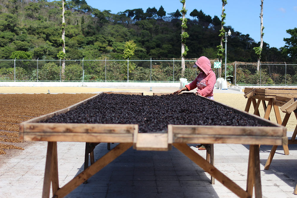 Cascara being dried on raised beds.