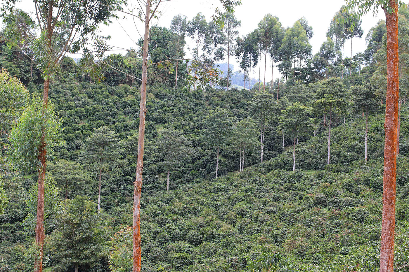 The upper reaches of Finca Cerro Azul