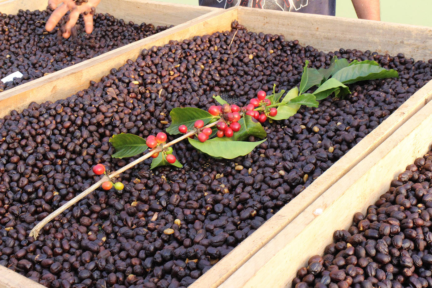 "<div id=""attachment_578"" class=""wp-caption aligncenter""> <p class=""wp-caption-text"">Natural processed coffee on raised African style beds at Granja La Esperanza</p> </div> <p> </p>"