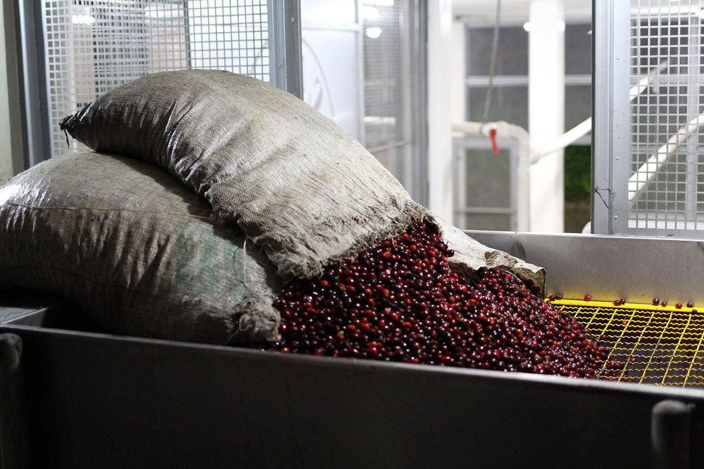 Freshly harvested Gesha being loaded into the depulper