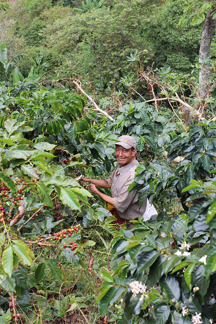Harvesting coffee at Finca Potosi