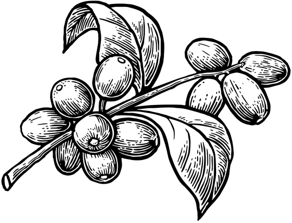 Cascara Illustration
