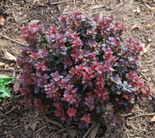 Load image into Gallery viewer, berberis thunbergii 'concorde' CONCORDE BARBERRY