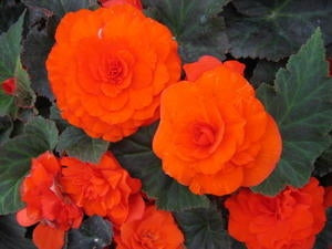 Begonia NonStop Orange