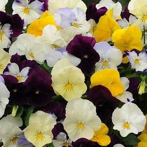 Pansy Cool Wave Berries N Cream