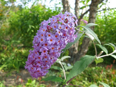 buddleja davidii 'nanho purple'  BUTTERFLY BUSH