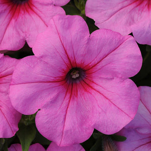 Petunia Easy Wave Pink Passion