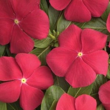 Vinca Pacifica Really Red