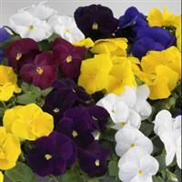 Pansy Grandio Clear Colors Mix