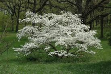 Load image into Gallery viewer, cornus florida 'Cherokee Princess' CHEROKEE PRINCESS DOGWOOD