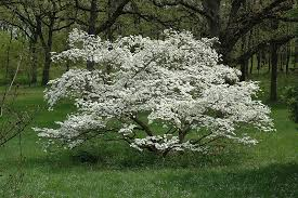 cornus florida 'Cherokee Princess' CHEROKEE PRINCESS DOGWOOD