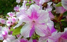azalea x 'encore' AUTUMN TWIST