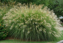 Load image into Gallery viewer, miscanthus sinensis 'gracillimus' MAIDEN GRASS