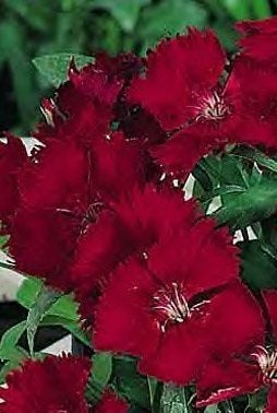 Ideal Select Red Dianthus