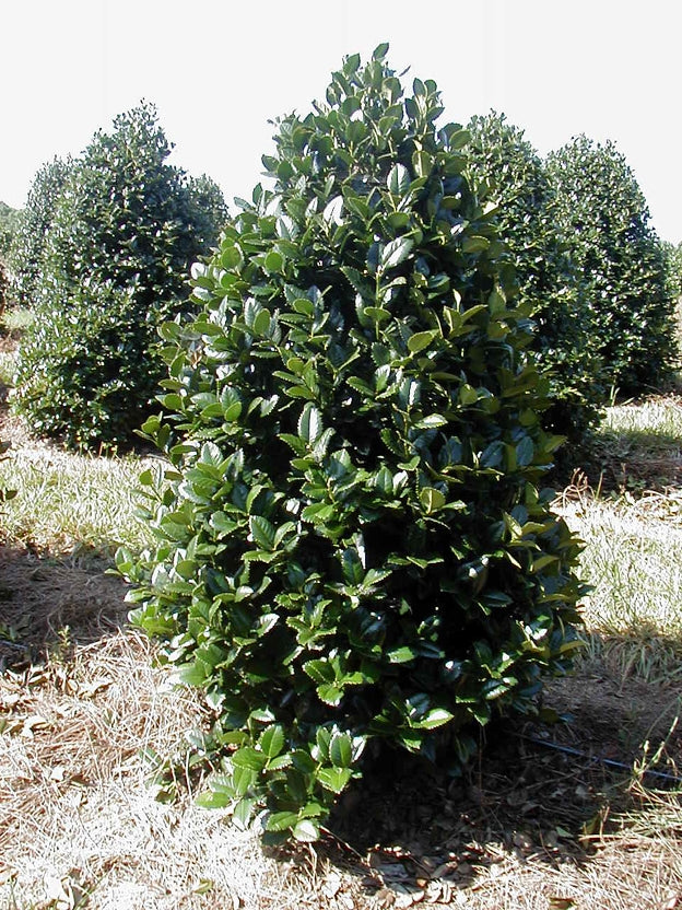 ilex cronada 'liberty' LIBERTY HOLLY