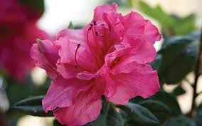azalea x 'encore' AUTUMN ROUGE