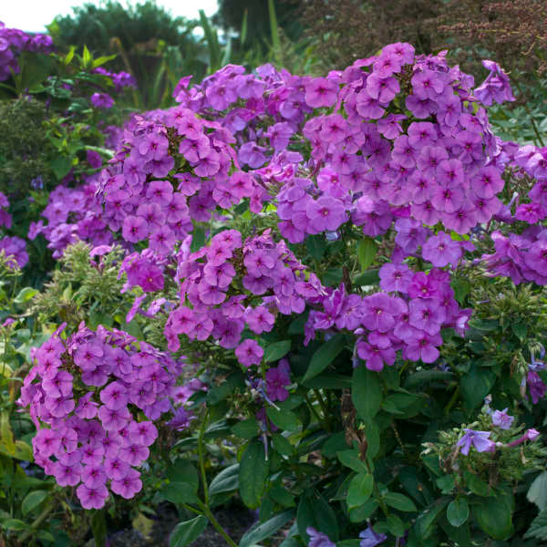 Phlox Flame Purple Imp