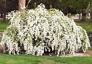 spirea japonica 'double bridal wreath' DOUBLE BRIDAL WREATH SPIREA