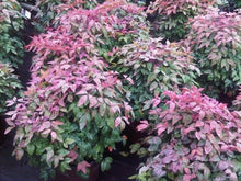 Load image into Gallery viewer, nandina domestica  'aka' BLUSH PINK NANDINA