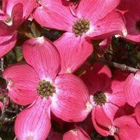 Load image into Gallery viewer, Cornus florida 'Red' RED FLOWERING DOGWOOD