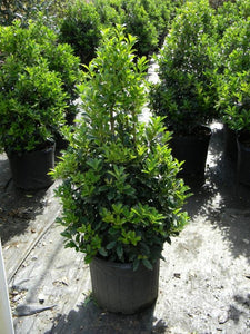ilex x 'oakland' OAKLAND HOLLY