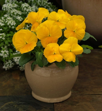 Viola Colormax Clear Yellow
