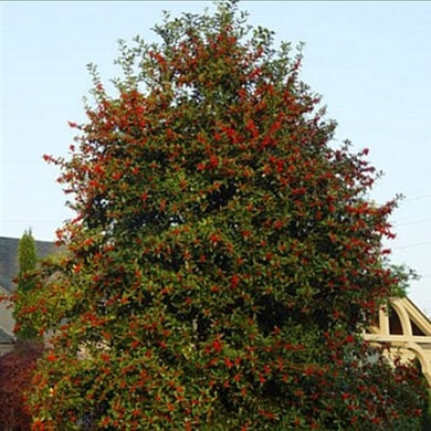 ilex x 'HL10-90' CHRISTMAS JEWEL HOLLY
