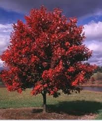 acer rubrum 'October Glory' OCTOBER GLORY RED MAPLE