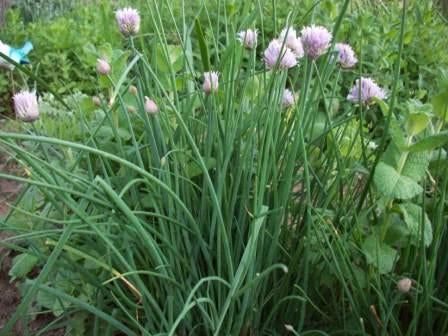Onion Chives
