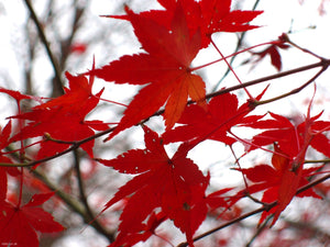 acer rubrum 'autumn blaze' AUTUMN BLAZE RED MAPLE