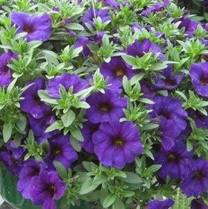 Calibrachoa SuperCal Blue