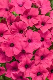 Vista Fuchsia Supertunia