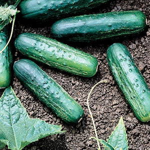 Cucumber Bush Pickle