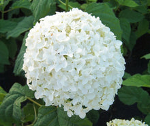 Load image into Gallery viewer, hydrangea arborescens 'annabelle' ANNABELLE HYDRANGEA