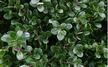 Load image into Gallery viewer, ilex crenata 'compacta' COMPACT HOLLY