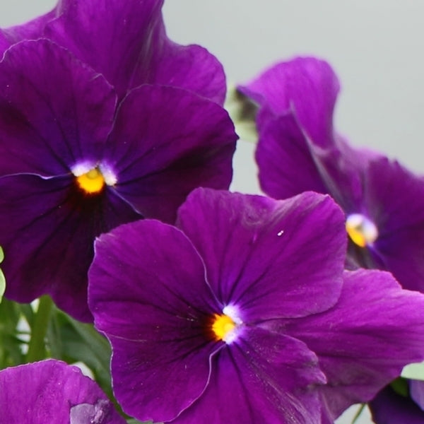 Viola Colormax Clear Purple