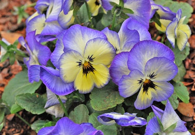 Viola Colormax Icy Blue