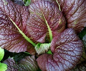 Red Giant Mustard