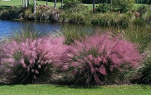 Load image into Gallery viewer, muhlenbergia lindheimeri MUHLY GRASS