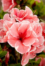 Load image into Gallery viewer, azalea x 'encore' AUTUMN SUNBURST