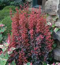 Load image into Gallery viewer, berberis thunbergii 'orange rocket' ORANGE ROCKET BARBERRY