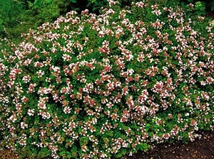 Abelia Grandiflora Rose Creek Rose Creek Abelia Needhamsnursery