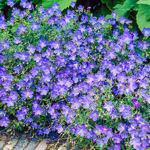 Geranium Johnson Blue