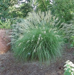 miscanthus sinensis 'little kitten'  LITTLE KITTEN MISCANTHUS GRASS