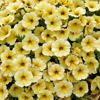 Calibrachoa SuperCal Light Yellow