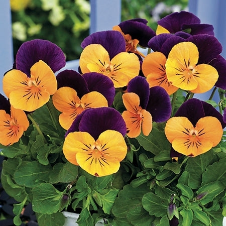 Viola Penny Orange Jump Up