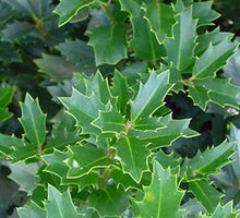 Load image into Gallery viewer, ilex crenata 'robin' ROBIN HOLLY