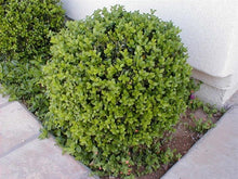 Load image into Gallery viewer, buxus microphylla 'japonica' JAPANESE BOXWOOD