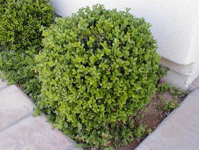 buxus microphylla 'japonica' JAPANESE BOXWOOD