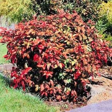 Load image into Gallery viewer, nandina domestica HEAVENLY BAMBOO
